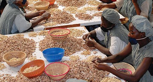 Kerala eyes cashew supply from Africa